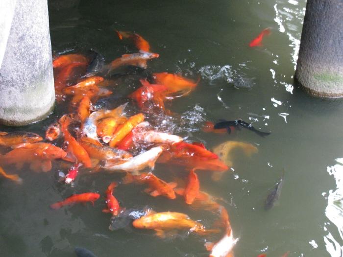 Devasal japon balıklar ( buradaki balıkların dünyanın en mutlu balıkları olduğunu düşünüyorlar. Bilmiyorlar ki dünyanın en mutlu balıkları rakının yanındaki balıklar :) )