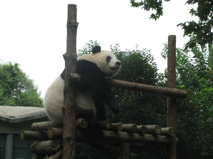 Yorgun panda