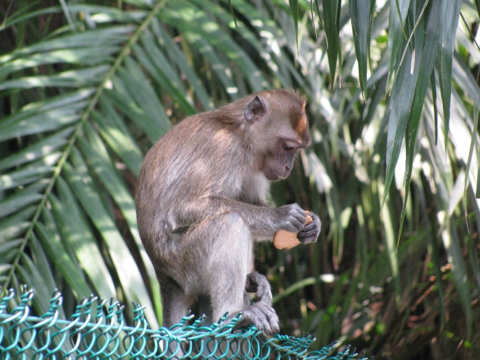 Yavru maymun
