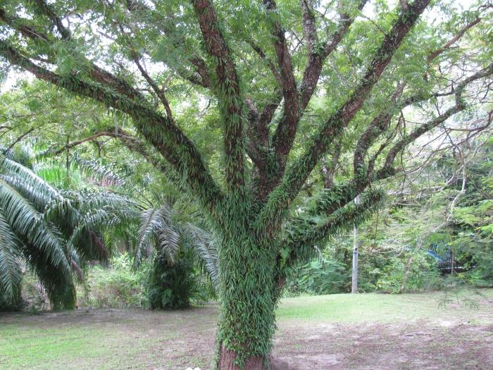 Ağacın sakalları uzamış