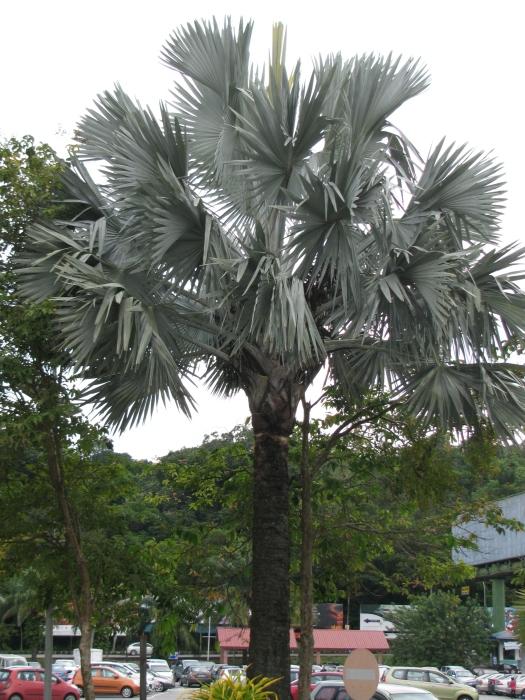 Gri palmiye
