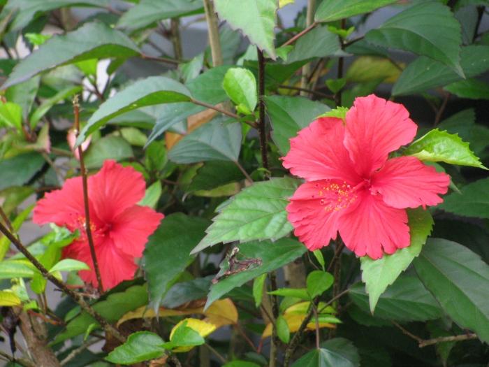 Malezya'nın simgesi olan çiçek