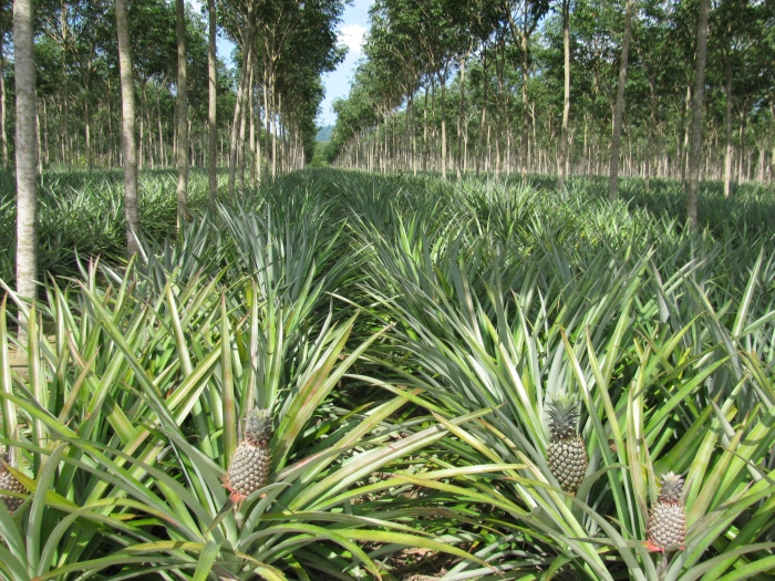 Ananas tarlası