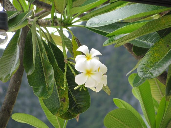 Tayland'ın simgesi olan çiçek