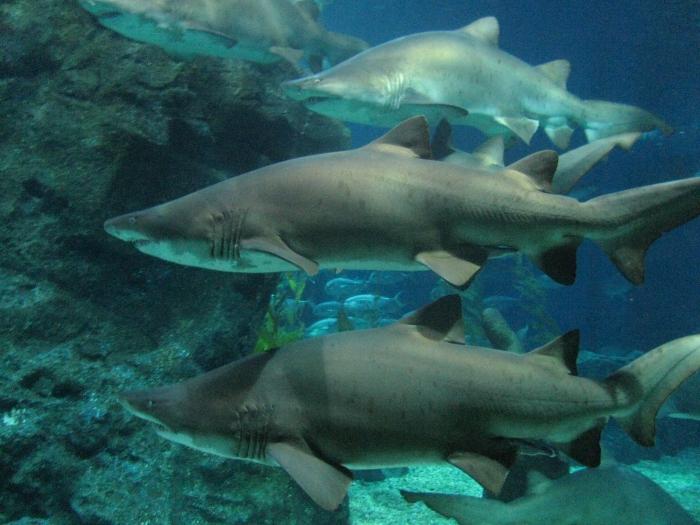 Köpek balıkları